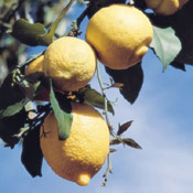 lemon tree picture