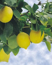 Lemon Tree Photo, Lemon Tree Fruit