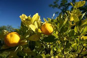 Lemon Tree Pictures, Rip Lemons for Picking