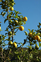 Lemons on the Tree