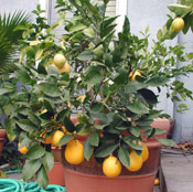 Lemon Tree Photo, Home Lemon Tree Image