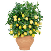 Lemon Tree Photo, Potted Dawrf Lemon Tree