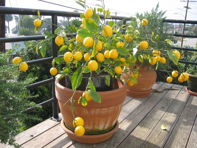 Lemon tree pictures photos images facts on lemon trees for Buy a lemon tree plant