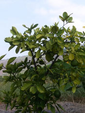 lime tree photo