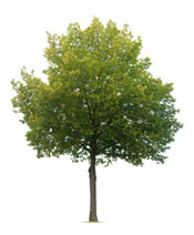 linden tree photograph