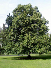 linden tree photo