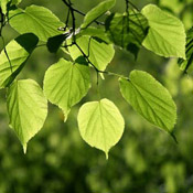 linden tree leaves
