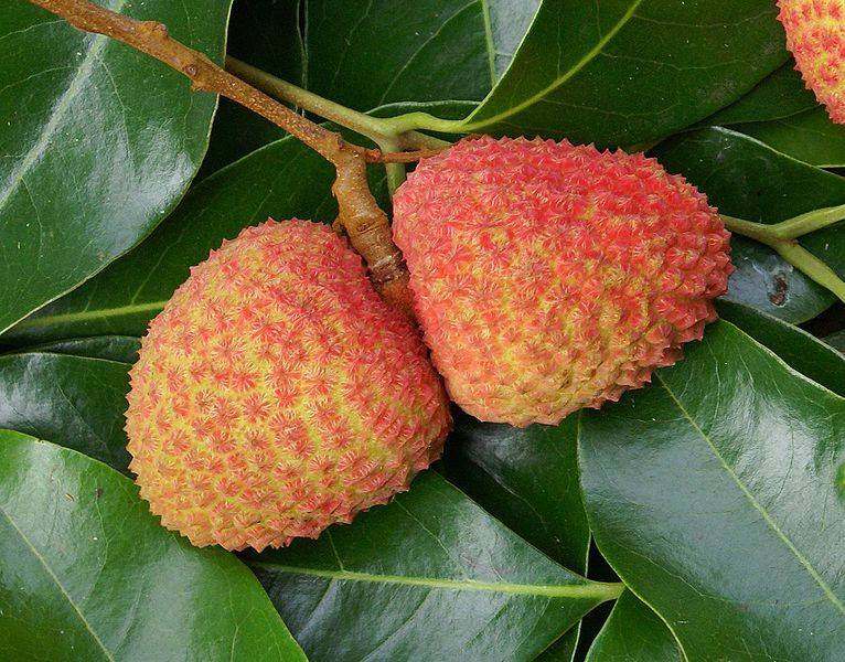 how to get lychee tree to fruit