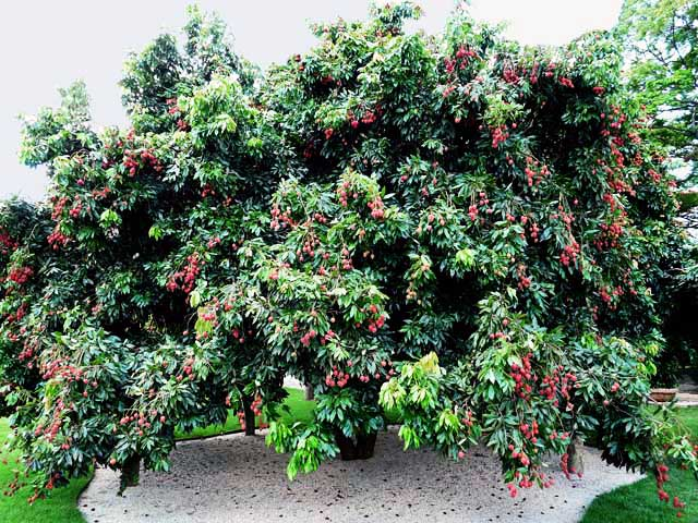 litchi tree pictures, photos, images  facts on lychee trees, Beautiful flower