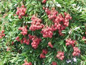 Litchi,  Fruit of the Lychee Tree