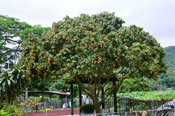 litchi tree photo