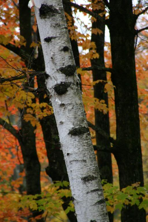 Birch Tree: Pictures, Images, Photos, Facts on Birch Trees