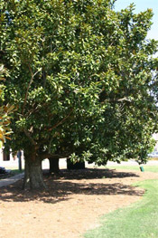 magnolia tree image