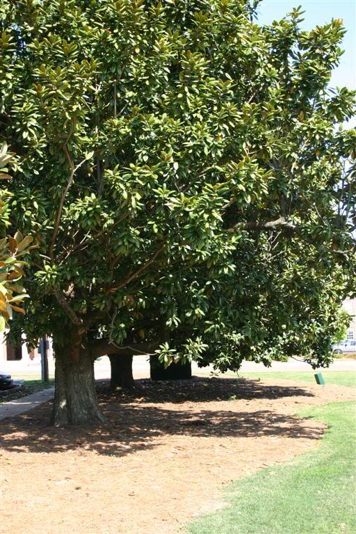 magnolia tree. Magnolia Tree Pictures