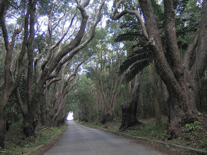 mahogany-trees.jpg