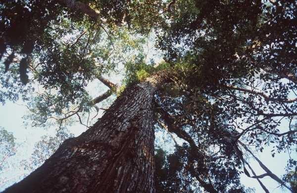 the mahogany tree Find great deals on ebay for the tree mahogany shop with confidence.