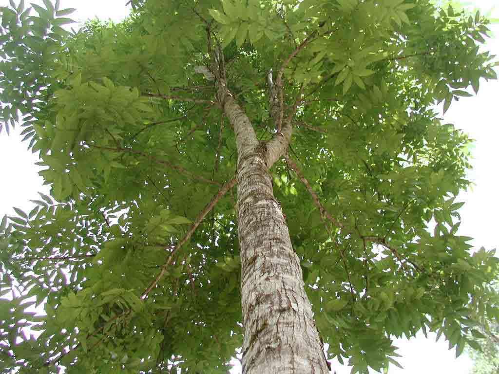 Mahogany Tree Uses – Information About Mahogany Trees
