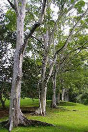Pictures of Mahogany Trees: Mahogany Trees Planted in a Row