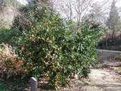 Orange Tree Pictures, Mandarin Orange Tree