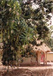 mango tree photo