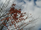 maple tree pic