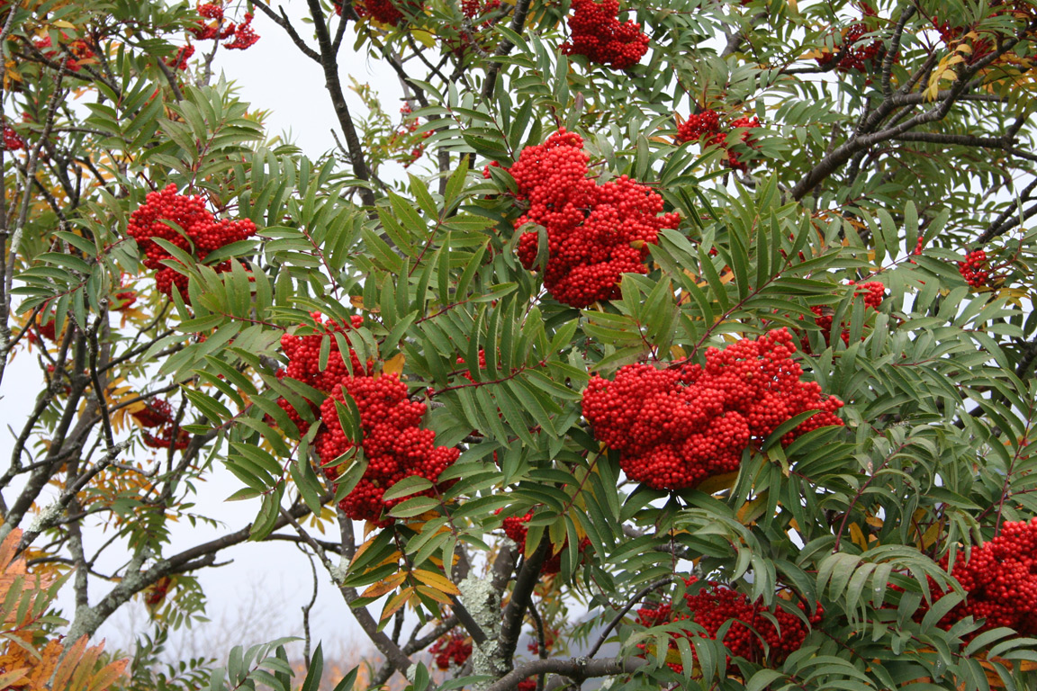 Mountain Ash Tree Pictures Images Amp Facts On Mountain