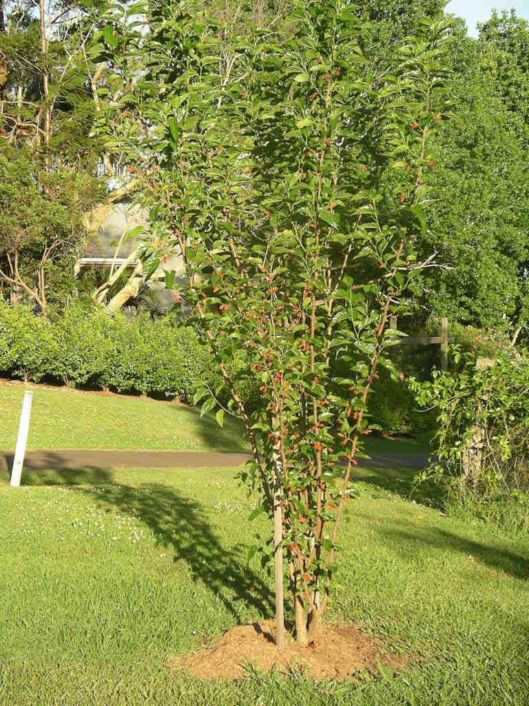 Шелковица дерево как сажать 67