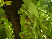 mulberry tree image