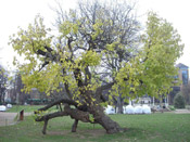 mulberry tree picture