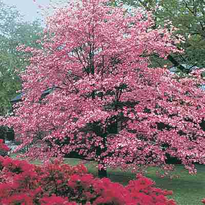 Dogwood Tree Pictures, Facts on Dogwood Trees - photo#4