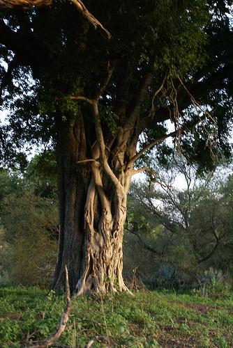 Ebony Trees 6