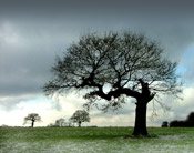 nice oak tree picture