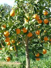 bel arbre d'orange