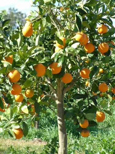 Orange Tree: Pictures, Images, Photos, Facts on Orange Trees