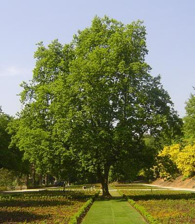 Oak Trees Pictures Images Amp Facts On The Oak Tree Species