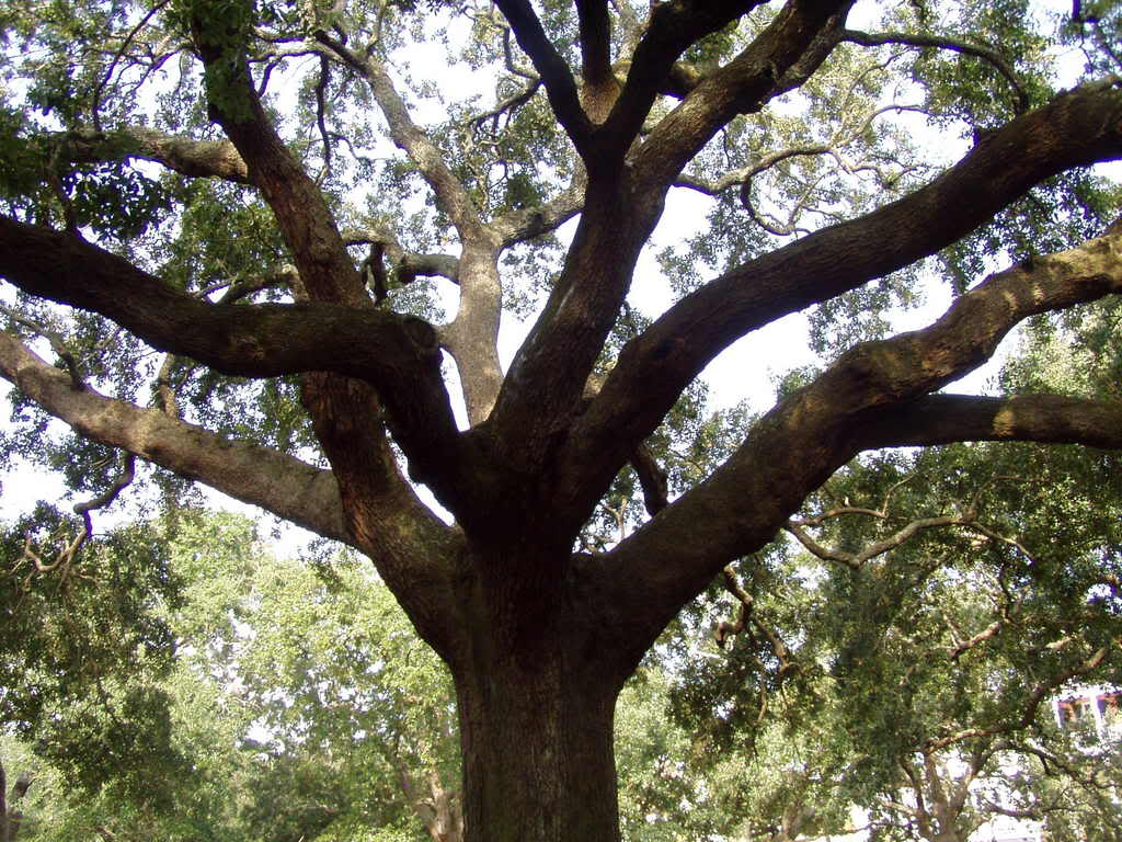 Oak Trees Pictures Amp Facts On The Oak Tree Species