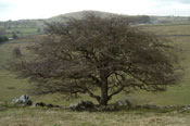 Old Hawthorn Tree