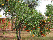 Photo de Orange Tree