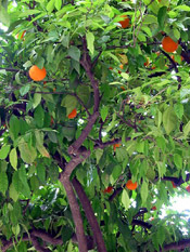orange tree pic