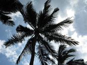 Palm Coconut Tree Image