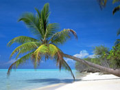 Tree Picture, Impressive Leaning Beach Palm Tree Picture