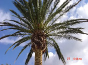 palm tree pic