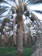 Palm Tree Image Pic