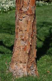 paper bark maple