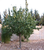 pear tree photo