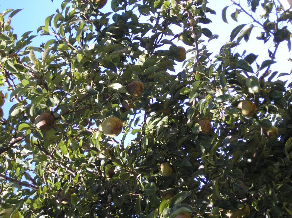 pear tree  pictures  images  phtos  info about pear trees