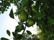 pear tree image