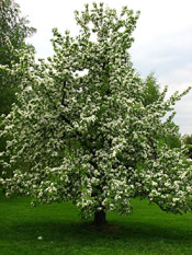 pear tree picture