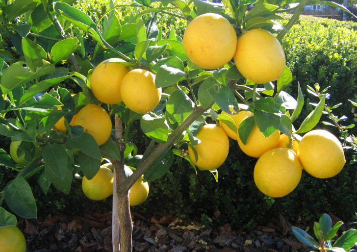 Lemon Tree Pictures  Photos  Images  U0026 Facts On Lemon Trees