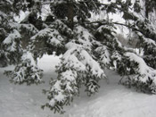 Pine Tree Pictures: Winter Snow covered Pine Tree Needles